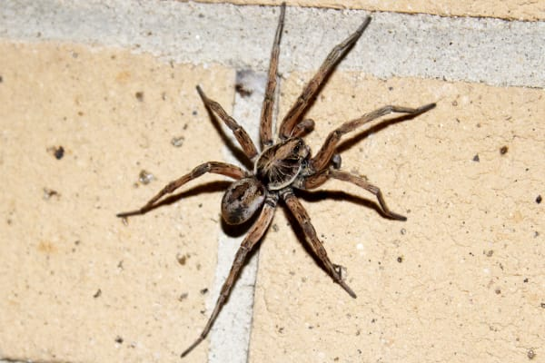a wolf spider crawls on a brick wall