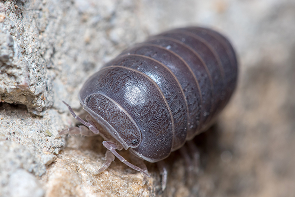 pill bug up close
