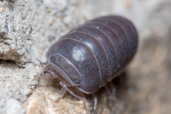 pill bug up close
