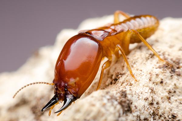 Virginia termite