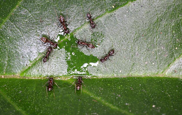 several ants on a plant leaf outside of a home in valencia california