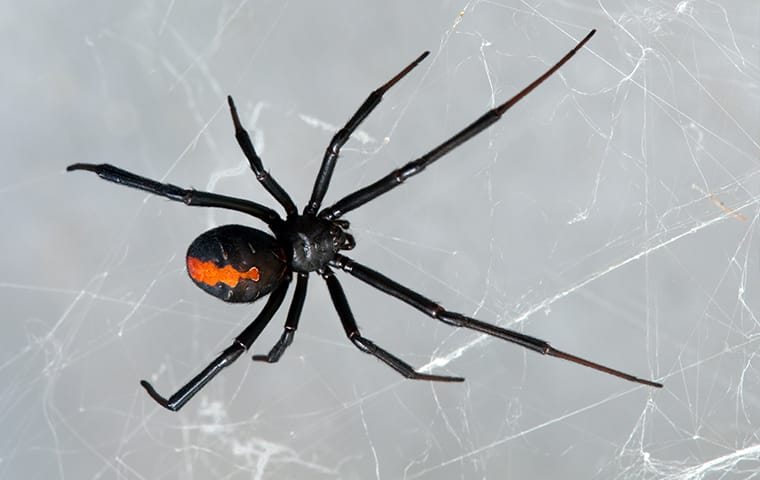 black widow spider on a web in santa clarita