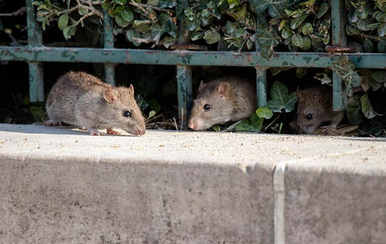 three rats crawling under a fence in castaic california