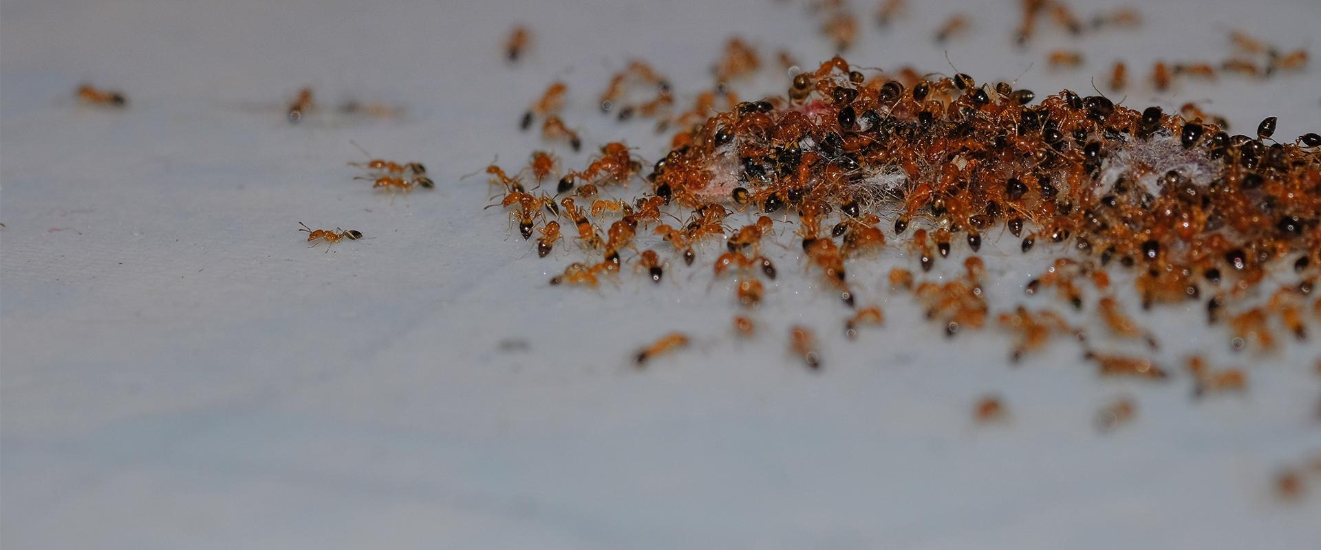 hundreds of ants on the floor of a kitchen in santa clarita california