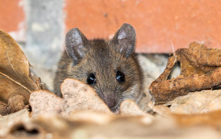 a mouse in a pile of leaves outside of a home in valencia california