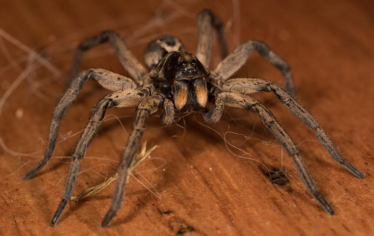 a large spider crawling on a dining room floor in santa clarita california