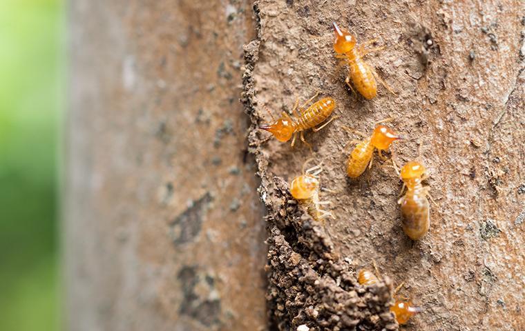 several termites crawling on damaged wood at a home in santa clarita california
