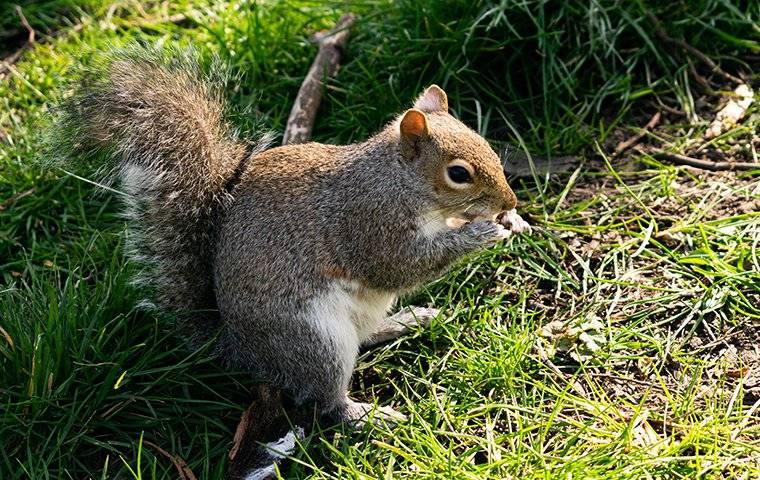 a gray squirrel sitting in the grass