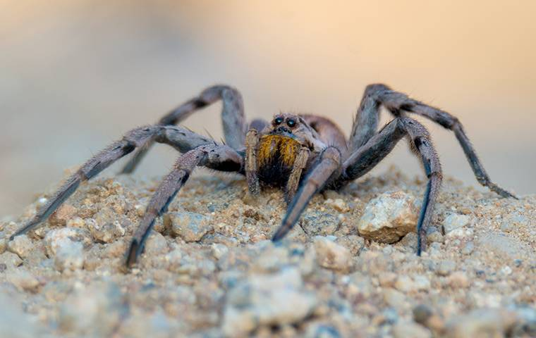 an up close image of a wolf spider crawling on the ground