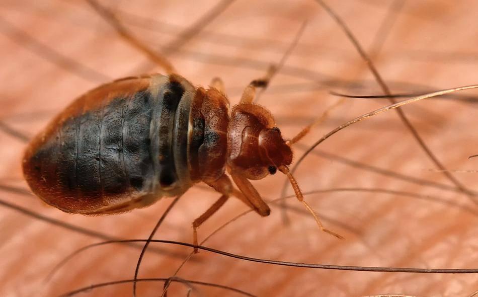 bed bug up close on mattress