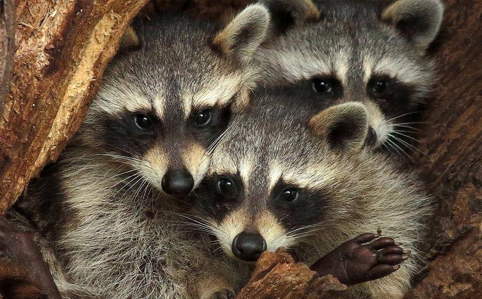 raccoons in a tree trunk