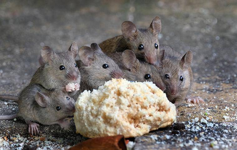 mice eating a biscuit