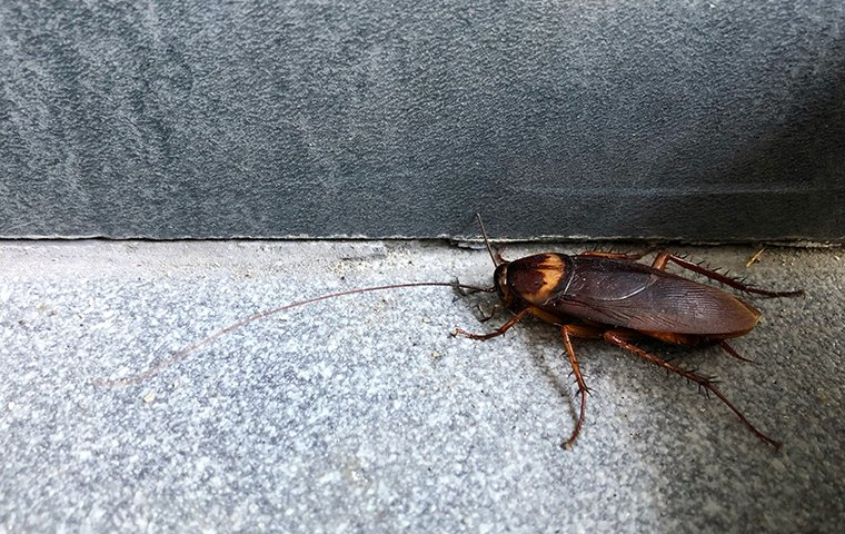 american cockroach in roanoke va home