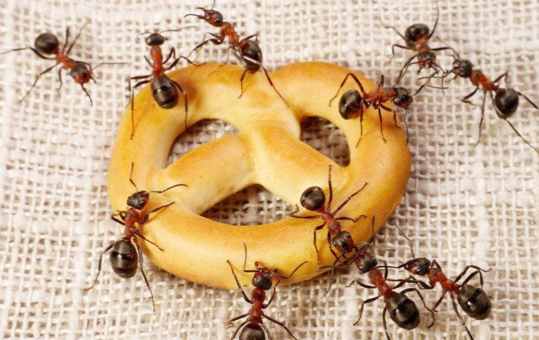 ants eating a pretzel