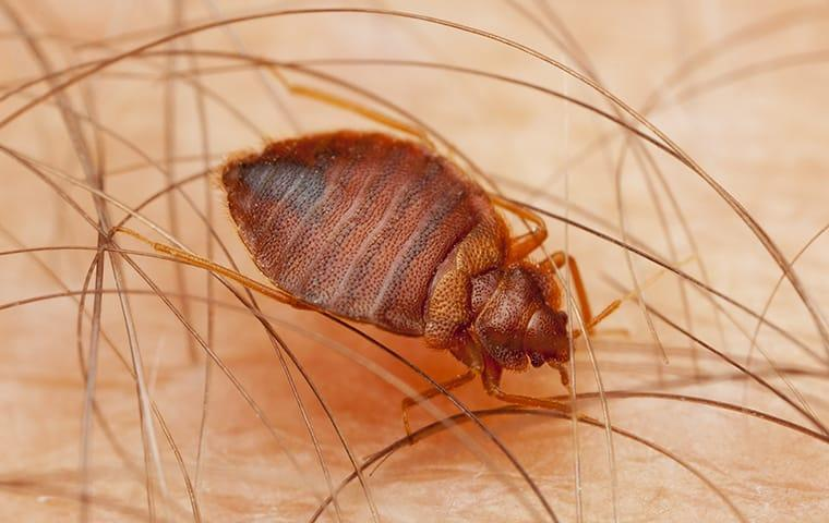 a bed bug crawling on a persons arm in their home in roanoke virginia