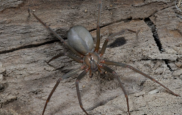 a brown recluse spider outside a home