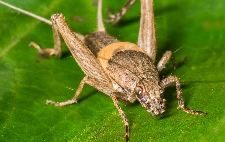an up close image of a field cricket sitting on a leaf