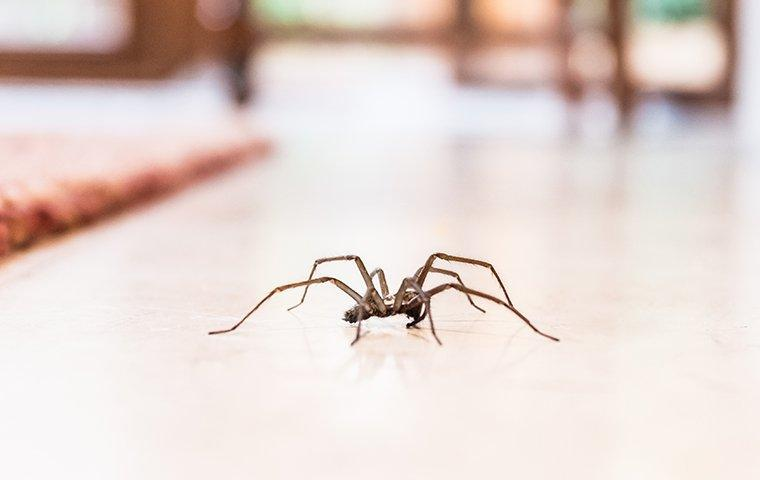 a house spider crawling on a living room floor
