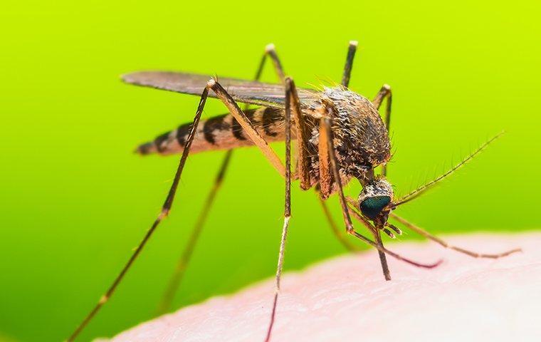 mosquito biting on human skin