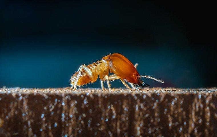 a termite crawling on wood in a home