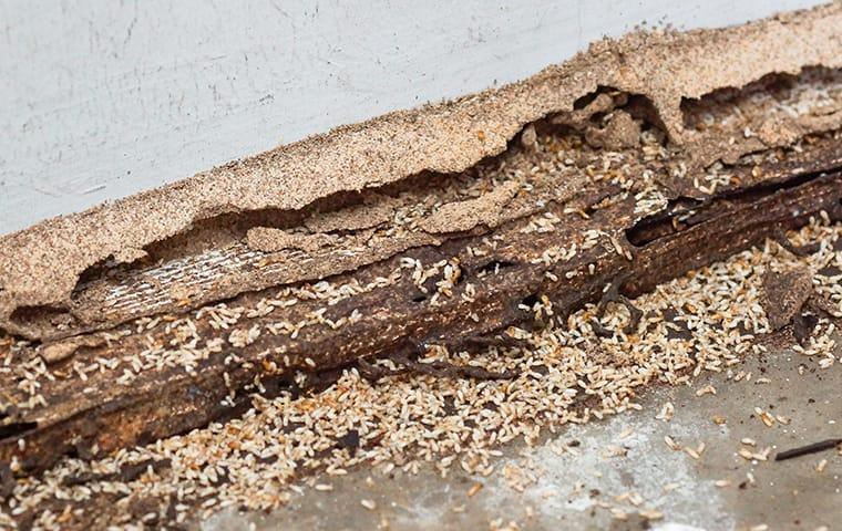 many termites damaging wood at a home in roanoke virginia