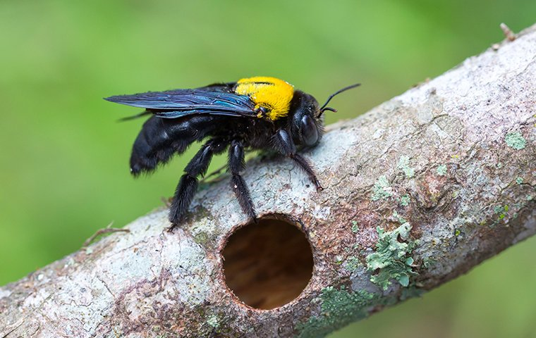 carpenter bee on tree branch in roanoke va