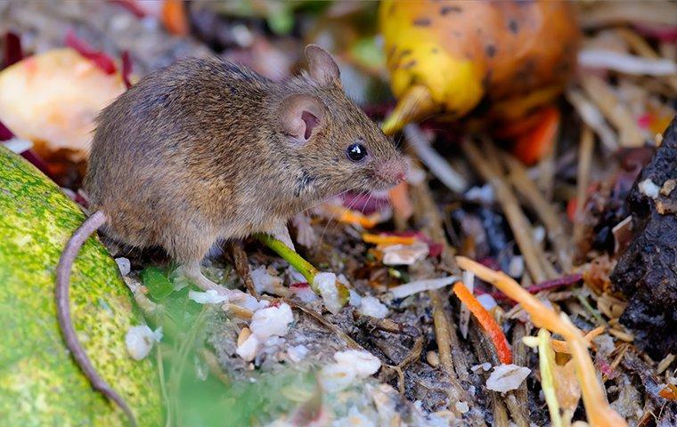 mouse foraging in roanoke va yard