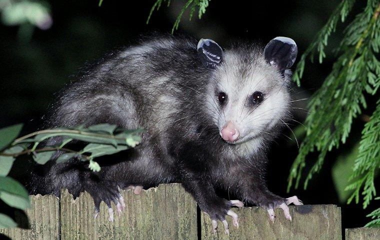 possum sitting on fence of roanoke va property