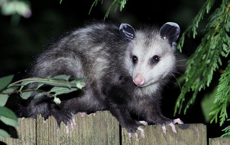 possum sitting on fence of roanoke va property