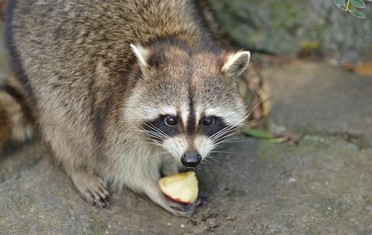 raccoon eating fruit on roanoke va property