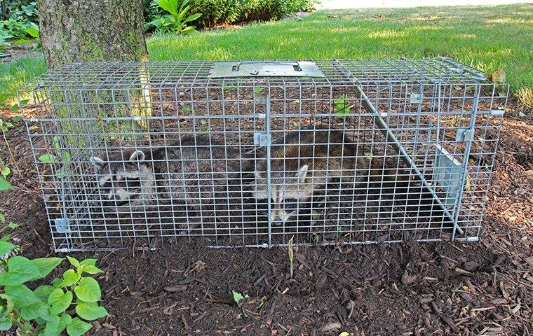 raccoons in roanoke trapped by star city pest control & wildlife services