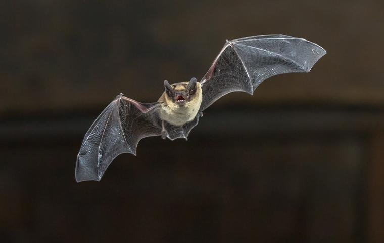 little brown bat flying