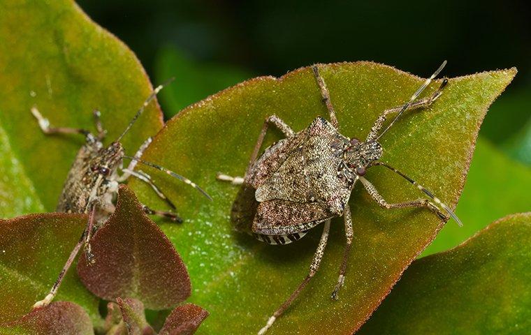 stink bugs crawling on leaves in roanoke va