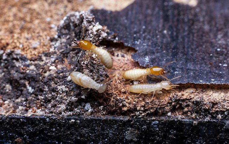 foraging termites damaging wood in roanoke va