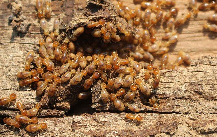 termites feeding on wood in roanoke va