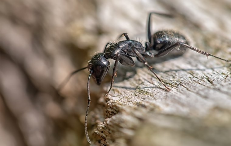 black ant crawling in roanoke va