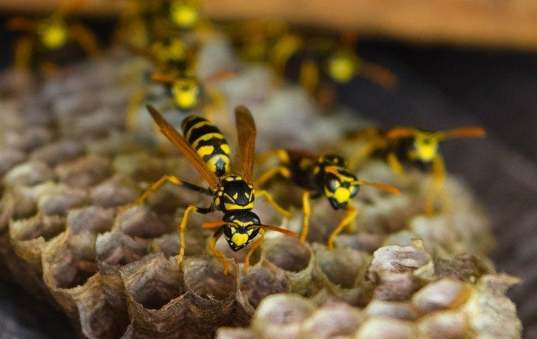wasps working in their wasp nest