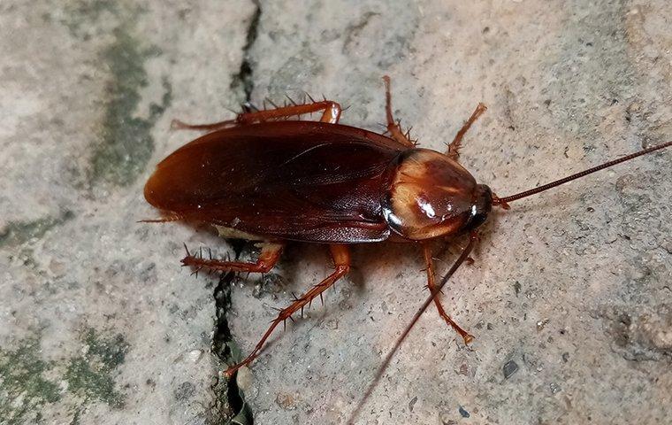 american cockroach on a cement floor