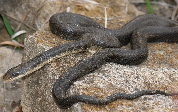 a black rat snake curled up on a rock in a mobile yard