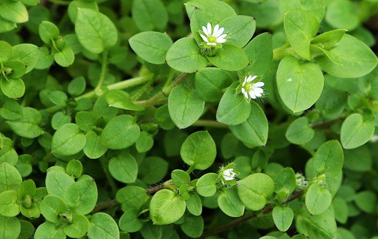 a chickweed infestation in a yard
