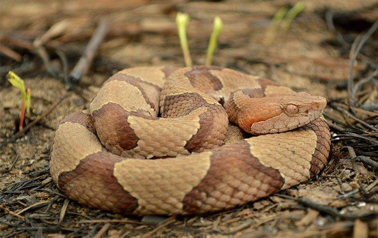 up close image of a curled up copperhead snake on the ground
