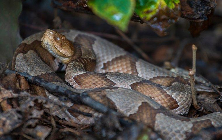 cooperhead snake coiled on the ground