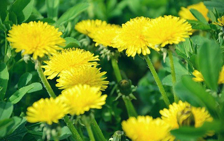 a cluster of dandelions amongst weeds on a lawn