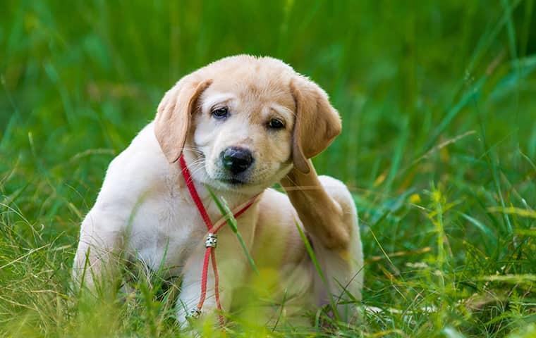 a pensacola puppy scratching summer fleas