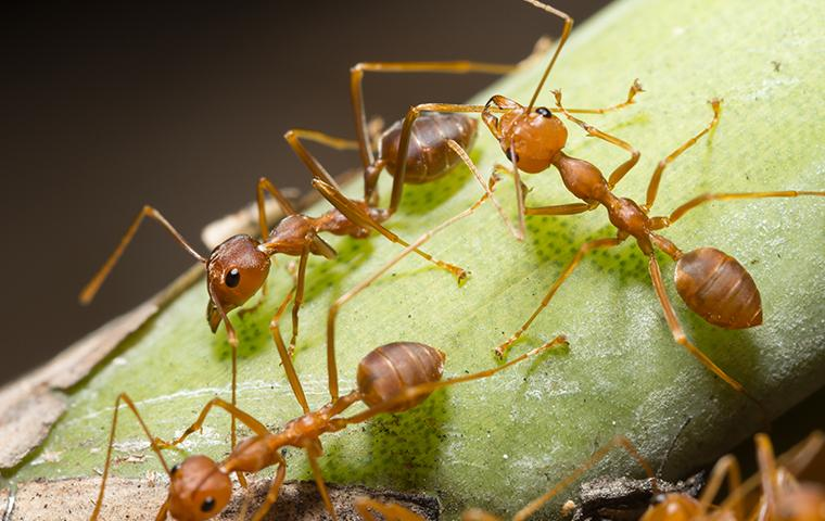 a cluster of fire ants on a stem