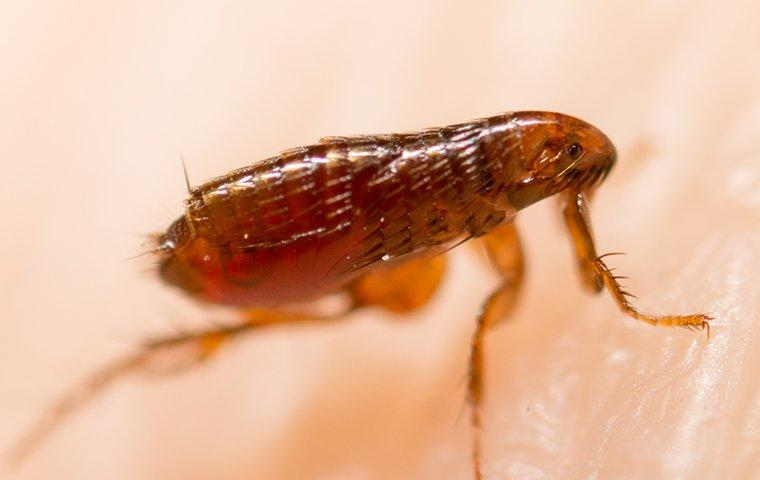 a flea jumping on human skin