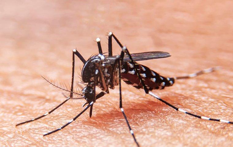 mosquito biting sucking blood