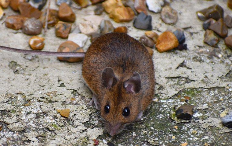 a mouse outdoors scavenging for food