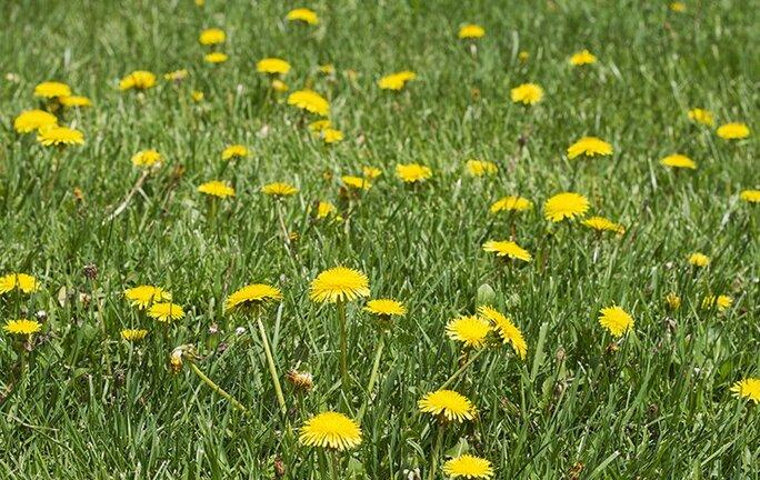 many dandelions on a lawn