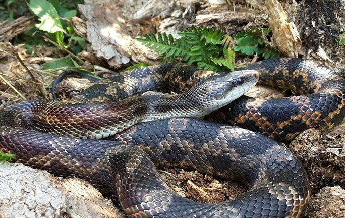 rat snake in some bushes and rocks